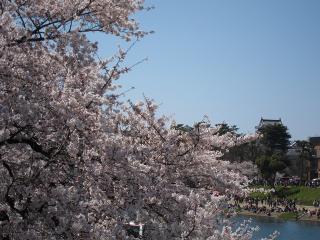 殿橋から桜
