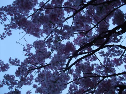 枝垂れ2013/4/5/3