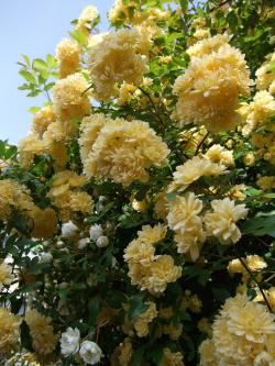 つるバラ黄
