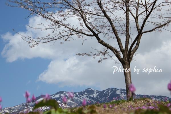 20130428桜・カタクリ・粟ヶ岳1
