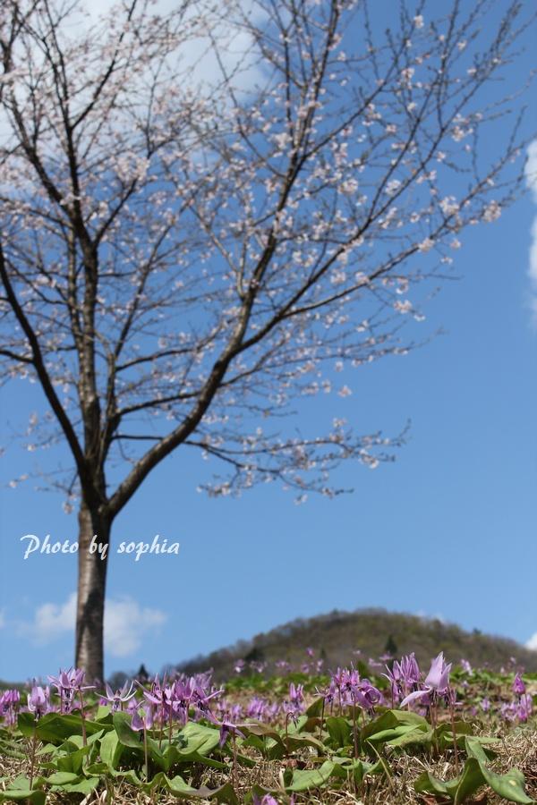 20130428桜・カタクリ