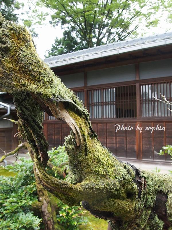 樹齢100年の柊