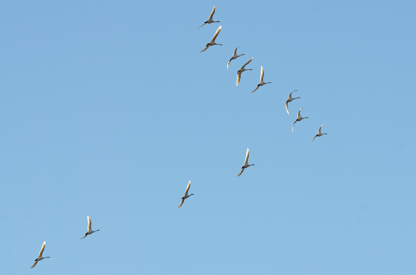 2011_1220白鳥1