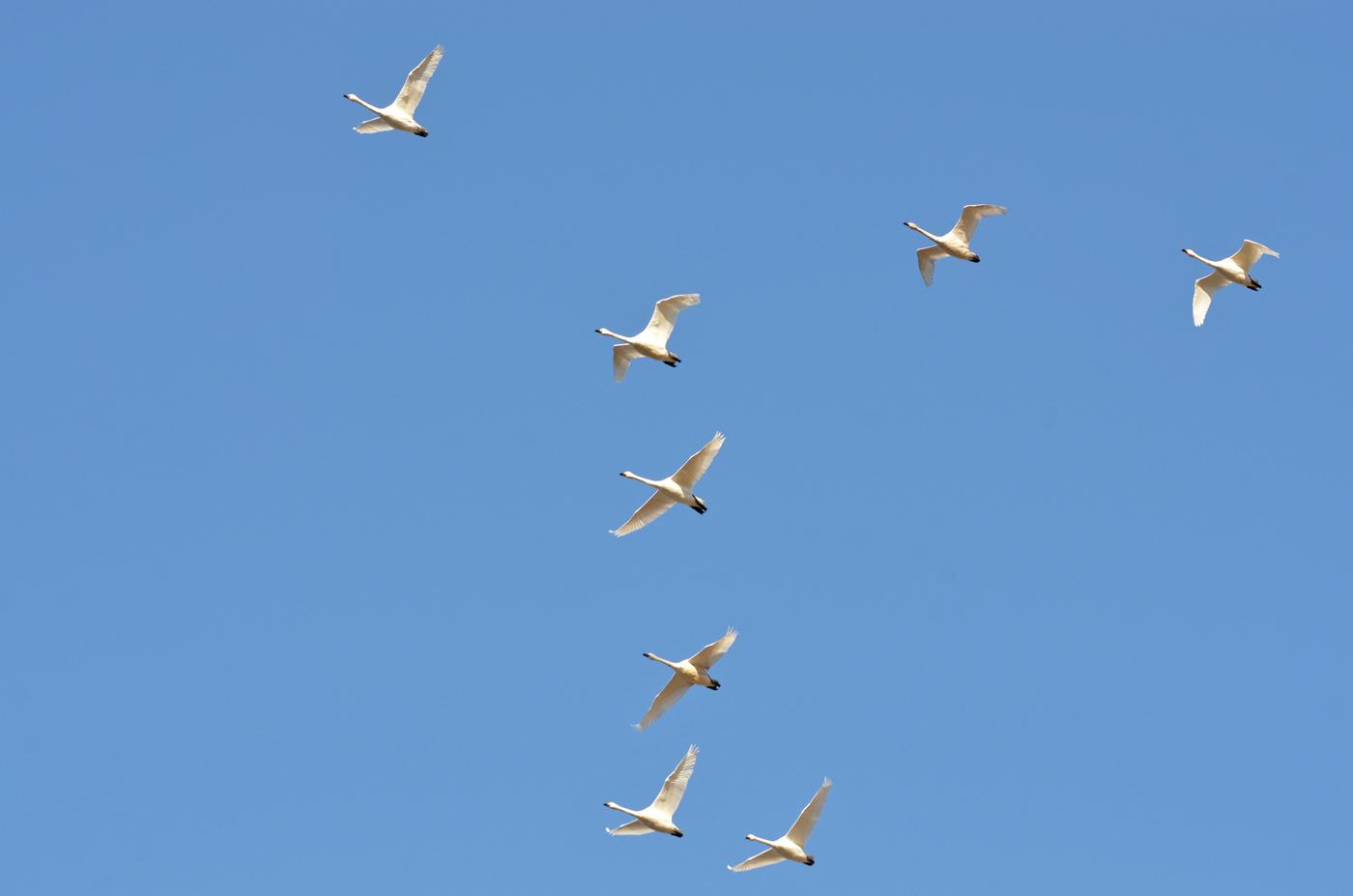 2011_1220白鳥2