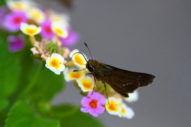 ランタナは蝶に大人気だね♪
