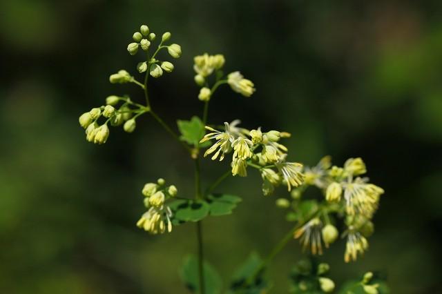 秋の花らしい名前の、アキカラマツ!