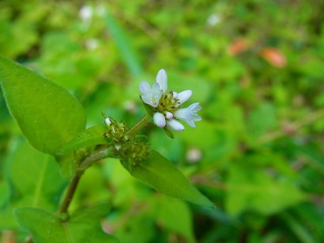 白花は、地味ですね・・・