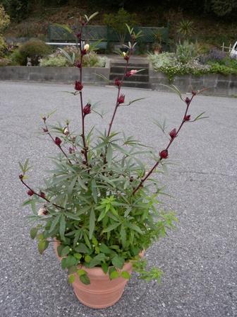 20111030ハーブ3種寄せ植え
