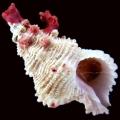 crebrilamellosus.jpg