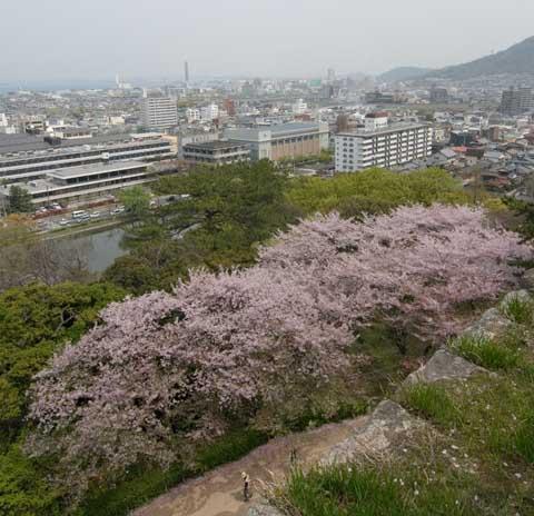 丸亀城二の丸の桜