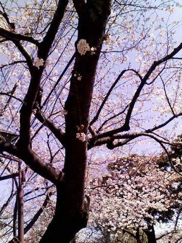 日暮里の桜