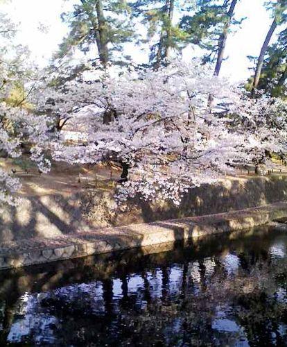 夙川の桜2