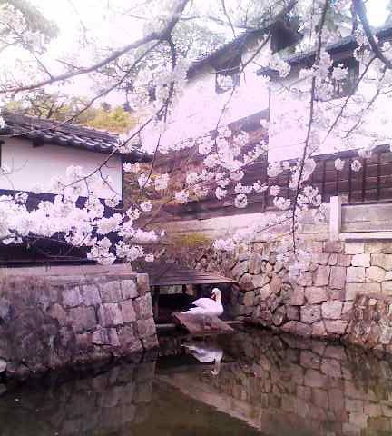 倉敷の桜とアイドルの白鳥さん