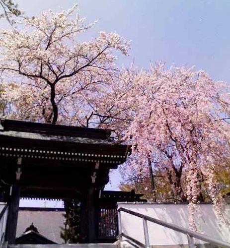 玄中寺と桜