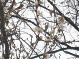桜花--寒桜?狂い咲き?--