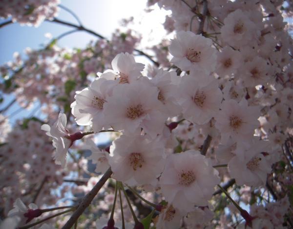 120428やすらぎ堤桜