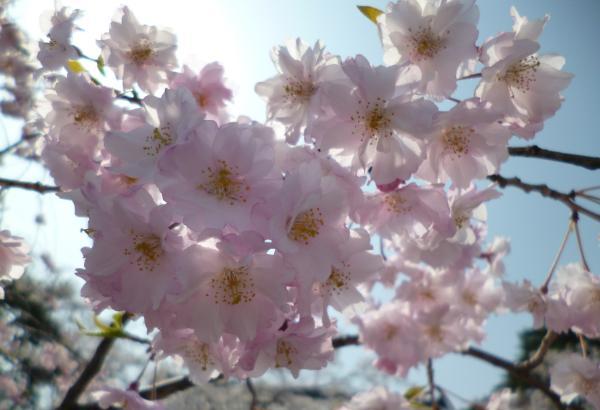 130415新発田城桜