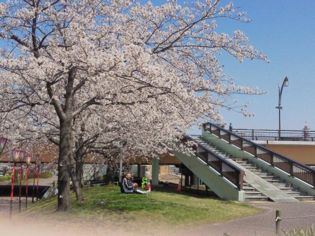 130415やすらぎ堤桜