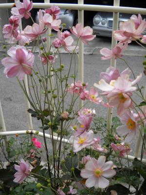 しゅうめい菊