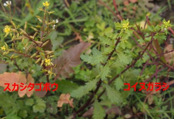 4スカシタゴボウとコイヌガラシ