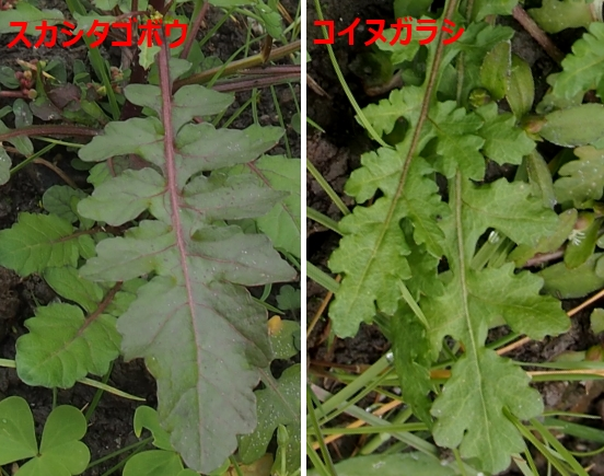 5スカシタゴボウとコイヌガラシの根元の葉