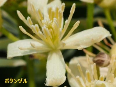 4ボタンヅル花1