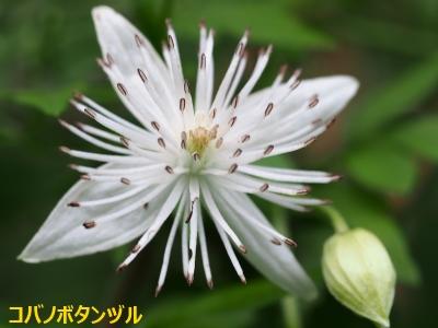 5コバノボタンヅル花1