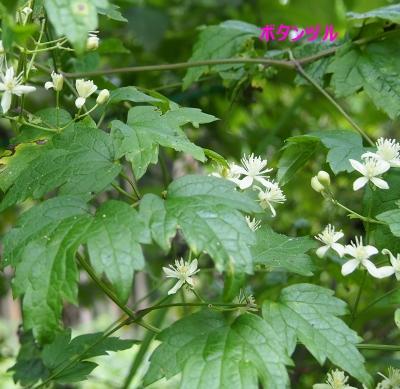 7ボタンヅル葉