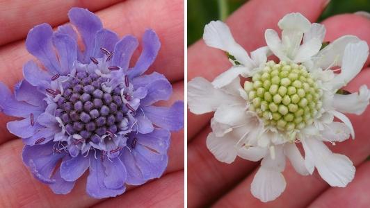 4マツムシソウ 紫白