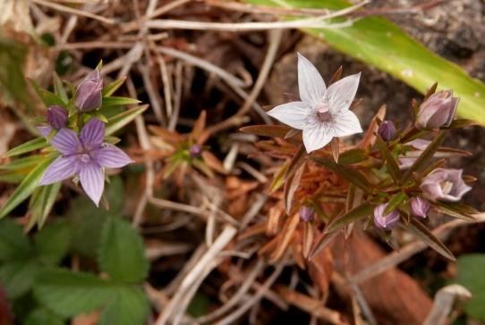 6ムラサキセンブリ 紫と白