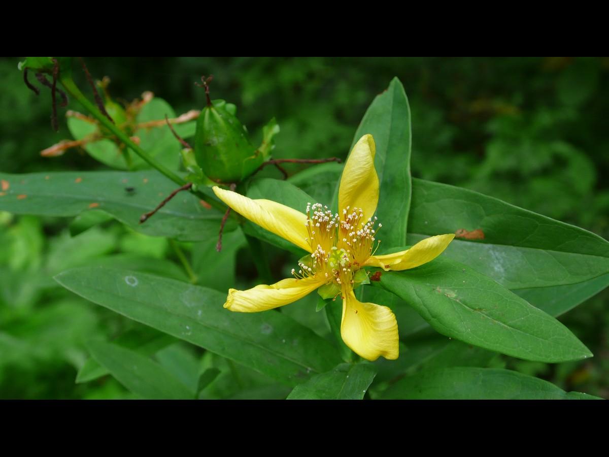 トモエソウ 花