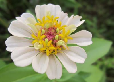 百日草 白 中にももうひとつお花