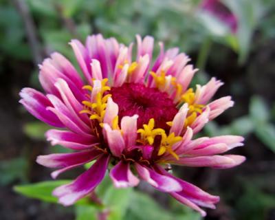 百日草 紫 花開くとき