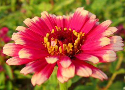 百日草 濃いピンクの濃淡