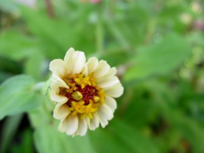 百日草 白 小さき花