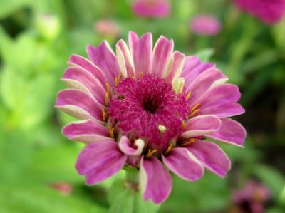 百日草 うす紫