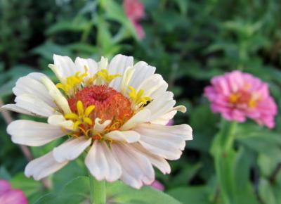 百日草 白横から後ろに小さくピンクの花
