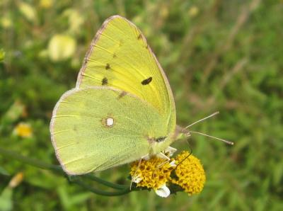 きいろい蝶