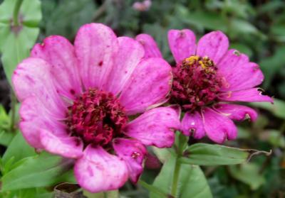 百日草 薄紫 ふたつ