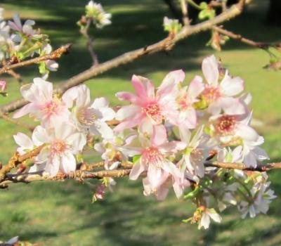 都立野川公園 桜なのかな?
