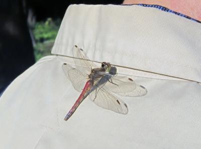 都立野川公園 自然観察園 おじさんの肩にトンボ