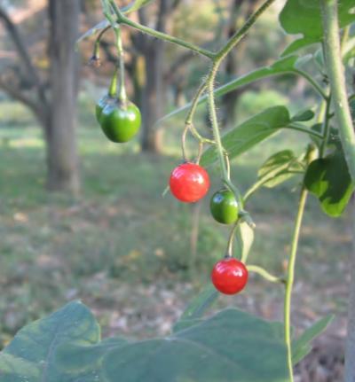 都立野川公園 自然観察園 ヒヨドリジョウゴの実