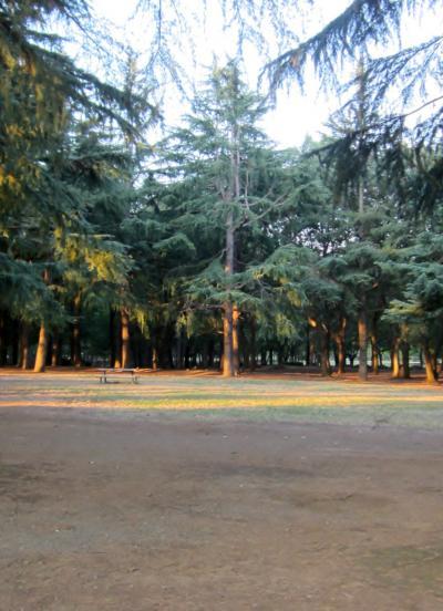 都立野川公園 大きな杉の木