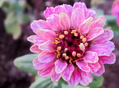 百日草 しぼりピンク正面
