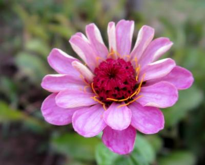 百日草 ピンク かわいい