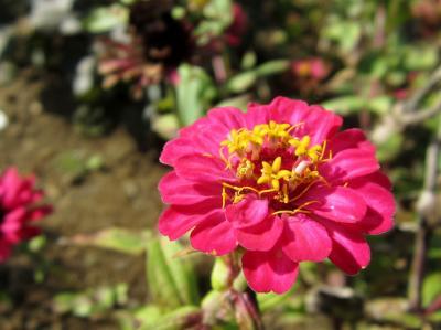 百日草 濃いピンク ボラの日