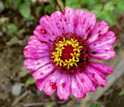 百日草 ピンク 斑点がたくさん