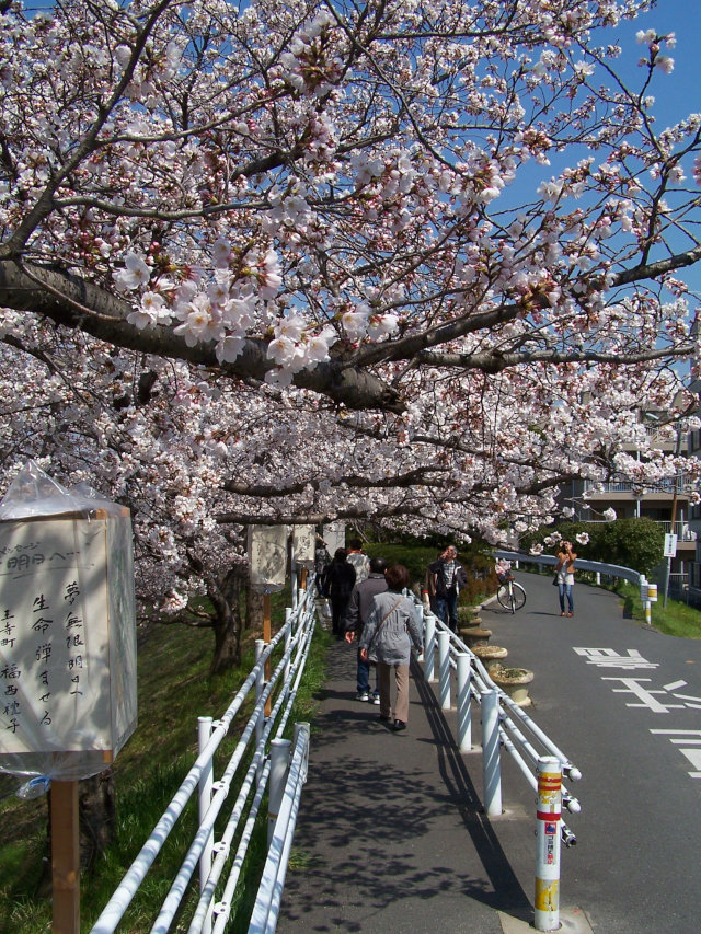 奈良 佐保川 桜