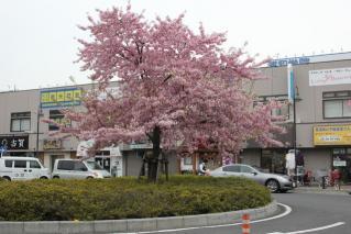 西浦和 河津桜