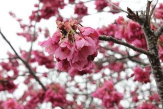 鴨川 寒緋桜